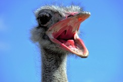 the-ostrich-1658267_640.jpg