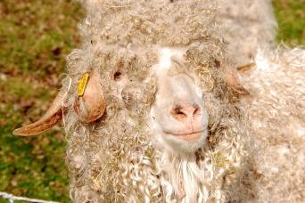sheep-1465282_640.jpg