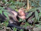 chimpanzee-718273_640.jpg