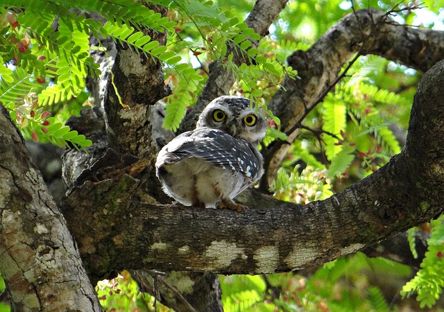 spotted-owlet-336955_640.jpg